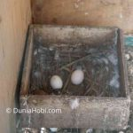Telur Merpati Keberapa yang bagus