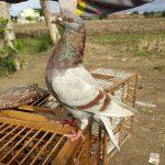 Gambar burung merpati giring keras